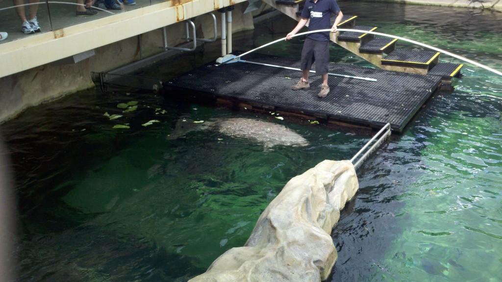 A male dugong